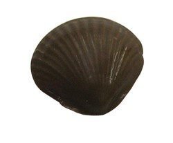 Chocolate Shell Assorted Medium - Click Image to Close